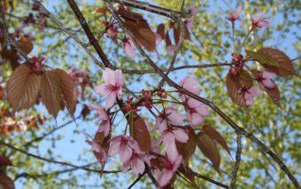 Koristekirsikkapuu kukkii.