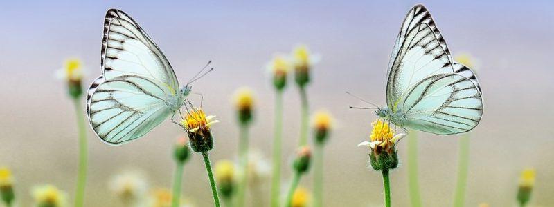 Kaksi perhosta niityllä.