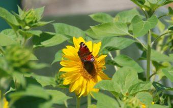 Auringonkukkia, yhdessä on neitoperhonen.
