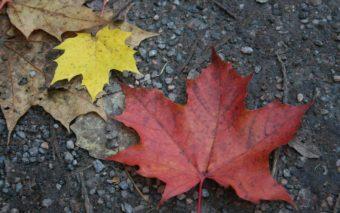 Keltainen ja oranssi vaahteran lehti maassa.